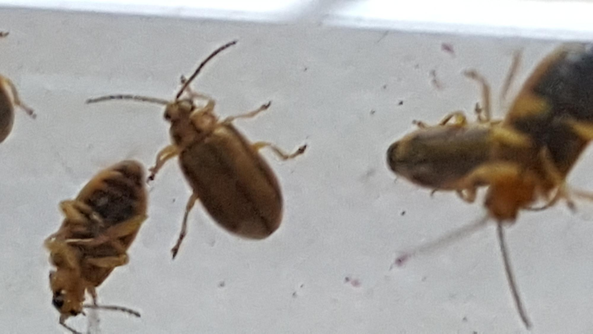 Petit Insecte Beige Marron Volant